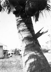 318_Board_driven_into_palm_tree_1928_hurricane.jpg